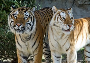 Sonia Supports the Endangered Tiger
